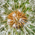 Dandelion Explosion by Mary Raderstorf