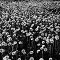 Dandelion Field In Black And White by Olga Akulinina