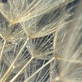 Dandelion Fifty by LKB Art and Photography