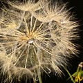 Dandelion Fifty Nine by LKB Art and Photography