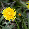 Dandelion Flower by Alain De Maximy