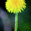 Dandelion Flower by Ewelina Pop