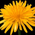 Dandelion Flower Molten Gold Effect by Rose Santuci-Sofranko