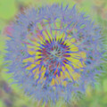 Dandelion Flower Power Square by Terry DeLuco