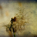 Dandelion Flower by Valmir Ribeiro