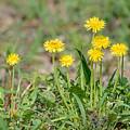 Dandelion Flowers by Alain De Maximy
