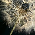 Dandelion Forty One by LKB Art and Photography