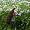 Dandelion Fox by Theo Bauder