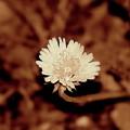 Dandelion by Frances Lewis