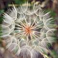 Dandelion Fuzz by Marilyn Hunt