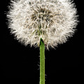 Dandelion Gone To Seed by Steve Gadomski
