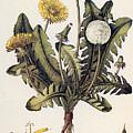 Dandelion by Granger