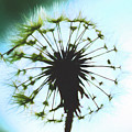 Dandelion Halo by Kay Brewer