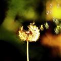 Dandelion Heart  by Monte Arnold