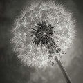 Dandelion In Black And White by Garry Gay