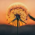 Dandelion In The Sun by Deon Grandon