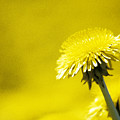 Dandelion In Yellow by Steve Somerville