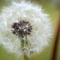 Dandelion by Jessica Wakefield