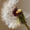 Dandelion by Jill Smith