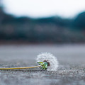 Dandelion by Kenneth Freyer