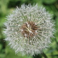 Dandelion Macro by Carol Groenen