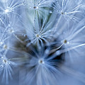 Dandelion Macro by Paulo Goncalves