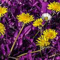 Dandelion On Purple by Wolfgang Stocker