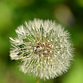 Dandelion Puff by Ally  White