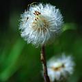 Dandelion Puff  by Edward Sobuta