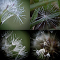 Dandelion Puff Water Macro Composite by Christina VanGinkel