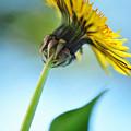 Dandelion Reaching High by Kaye Menner