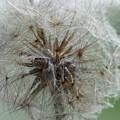 Dandelion by Rosanne Licciardi