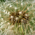 Dandelion Seed Head by  Onyonet  Photo Studios