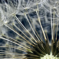Dandelion Seed Head by Ryan Kelly