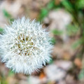 Dandelion Seed Head by SR Green