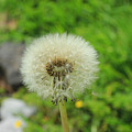 Dandelion Seed by Robert Hamm