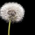 Dandelion Seedhead by Steve Gadomski