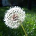 Dandelion Seeds 101 by Ken Day