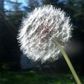 Dandelion Seeds 102 by Ken Day