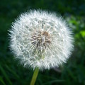 Dandelion Seeds 107 by Ken Day