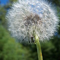Dandelion Seeds 110 by Ken Day