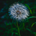Dandelion Seeds 2 by Totto Ponce