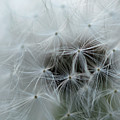 Dandelion Seeds Close-up by Michelle Himes