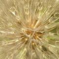 Dandelion Seeds by Graham Elliott