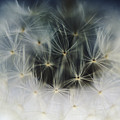 Dandelion Seeds by Larry Dale Gordon - Printscapes