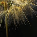 Dandelion Seventy Four by LKB Art and Photography