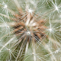 Dandelion Sparkles by Terry DeLuco