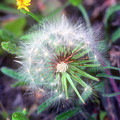 Dandelion by Stephen Anderson