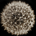 Dandelion Sun by Alex Art and Photo