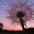 Dandelion Sunset by Ginger Adams